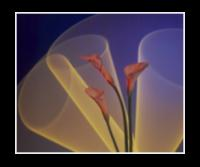 Helium Laser Calla Lilies with Neon